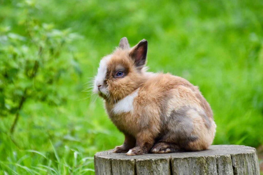 Jak długo żyje królik