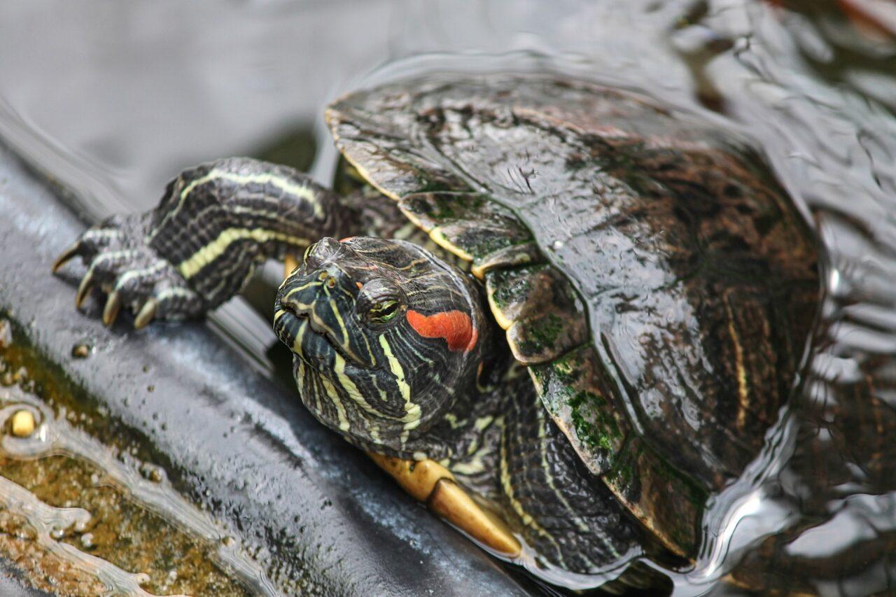Żółw wodno-lądowy – hodowla, żywienie - ZOONEWS.PL