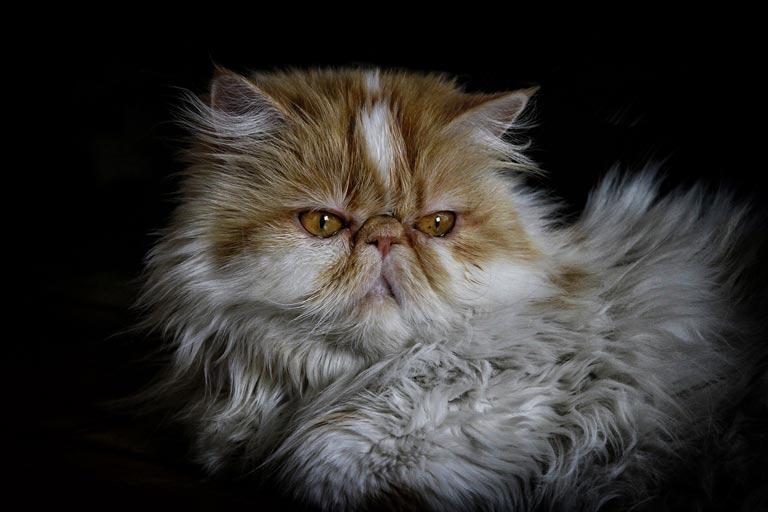 Rasa kota perskiego znana była wiele stuleci temu