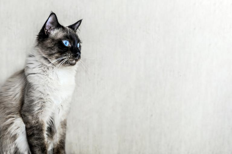 Charakterystyka kota balijskiego