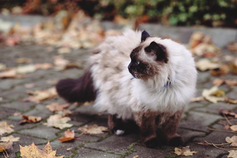 Kot birmański charakter