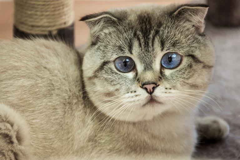 Kot szkocki zwisłouchy – Scottish Fold – zdrowie, charakter, cena