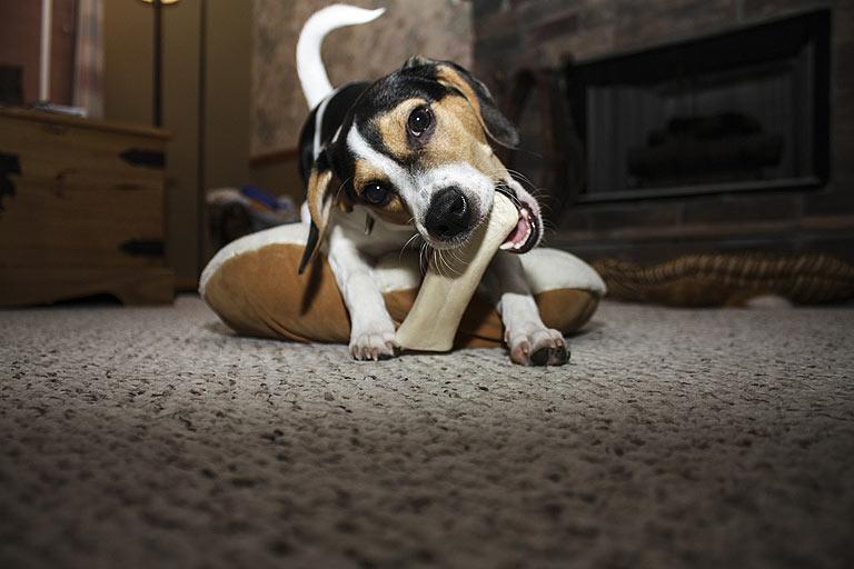 Pies gryzie meble?