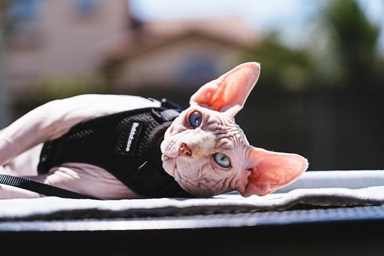 Kot na spacerze w szelkach i na smyczy