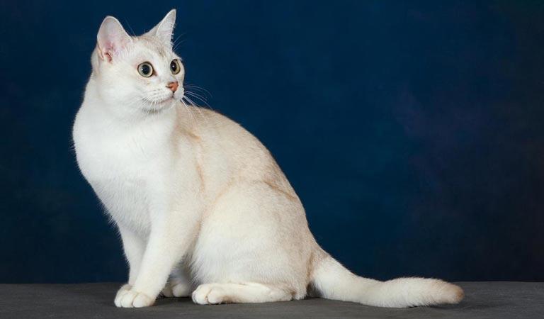 Burmilla – kot azjatycki cieniowany