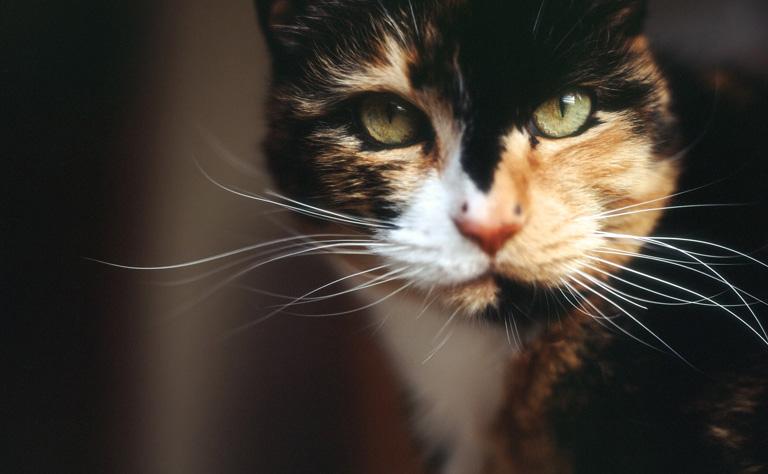 jak wygląd szylkretowy kot?