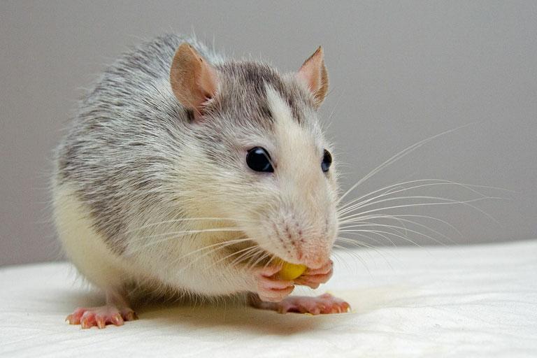 Szczur domowy – ile żyje, cena, hodowla